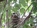 Rookery - 7 17 19 - Black-crowned Night-Heron chick (48319463921).jpg