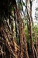 Roots of Umkar root bridge in Cherrapunjee, December 2010.jpg