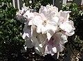 Rosa-sallyholmes.jpg