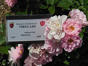 Virna Lisi - Image: Rosa Cultivar Virna Lisi Roseto Roma