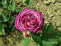 Rosa Heidi Klum Rose 2019-06-06 9221.jpg