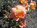 Rosa Rosemary Harkness 2018-07-16 6763.jpg