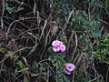 Rosa multiflora Thunb. (5596936555).jpg