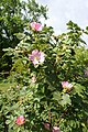 Rosa pulverulenta kz05.jpg