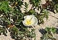Rosa spinosissima inflorescence (45).jpg