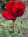 Rosarium Baden Rosa 'Duftzauber' Kordes 1984 02.jpg