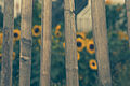 Rosendals Sunflowers (15731415198).jpg