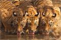 Royal Bengal Tiger.png