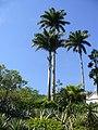 Roystonea oleracea (Scott Zona) 001.jpg