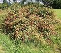 Rubus fruticosus 15 ies.jpg