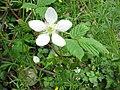 Rubus hirsutus 0905.JPG