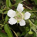 Rubus illecebrosus (flower s6).jpg