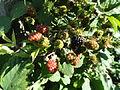 Rubus schlechtendalii - Botanischer Garten, Frankfurt am Main - DSC02482.JPG