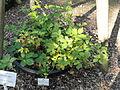 Rubus sulcatus - Botanischer Garten, Frankfurt am Main - DSC02453.JPG