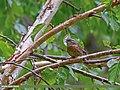 Rufous-breasted Accentor (Prunella strophiata) (27957724703).jpg