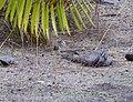 Rufous-collared Sparrow (48338163151).jpg