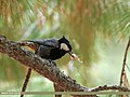 Rufous-naped Tit (Periparus rufonuchalis) (43130388162).jpg
