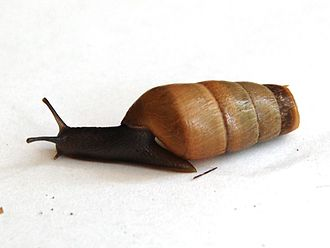 Decollate snail - A live individual of the decollate snail