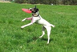 Russel terrier frisbee 8308v