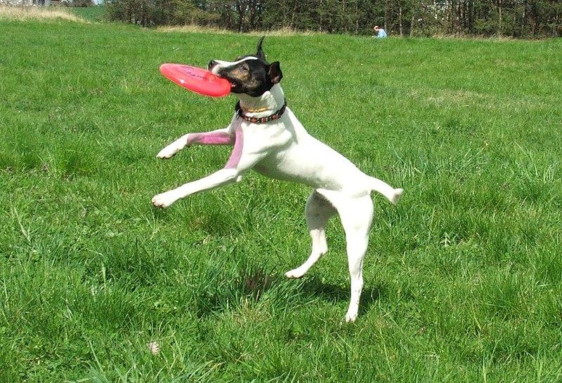 File:Russel terrier frisbee 8308v.jpg
