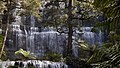 Russell Falls Beech Tree and Tree Ferns.jpg