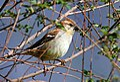 Russet Sparrow (Female) I IMG 6788.jpg