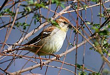 A dull-coloured little sparrow, yellowish below and ruddy above, perching in dense foliage