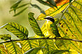 Rusty-margined Flycatcher - Atrapamoscas Pecho Amarillo (Myiozetetes cayanensis) (11909128455).jpg