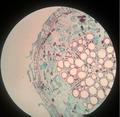 Súber da raiz de Gossypium sp. (algodão).png