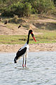 Saddle-billed stork - Queen Elizabeth National Park, Uganda.jpg