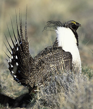 Centrocercus - Adult male greater sage-grouse