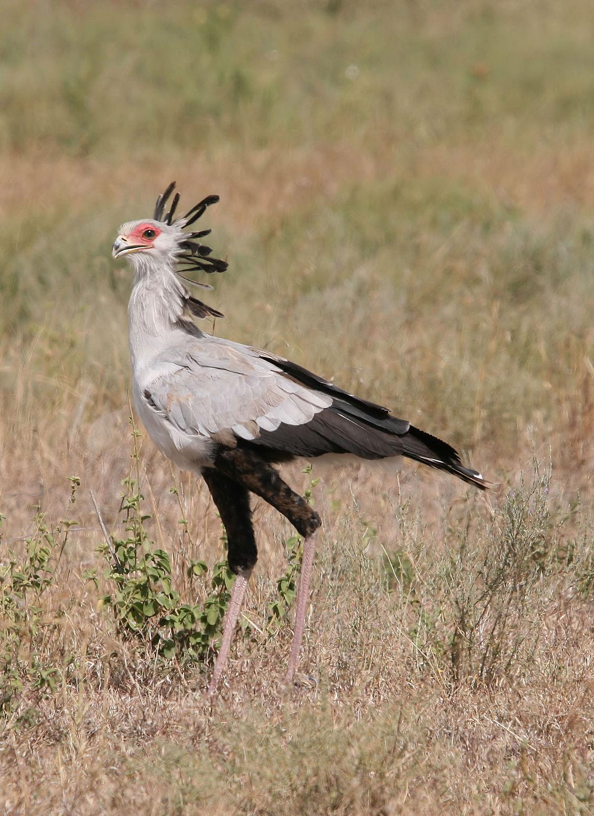 African Grassland Birds Secretarybird - Wikipe...