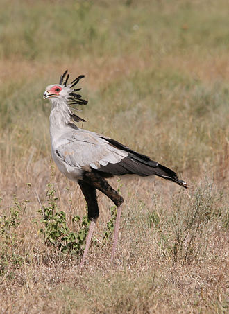 Secretarybird - In Serengeti National Park