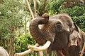 Sakrebailu elephant camp 12.jpg