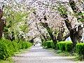 Sakura along approach to Itahato-jinja - 2.jpg