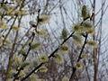 Salix caprea5.jpg