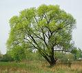 Salix fragilis.jpg