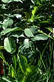Salix magnifica - Flickr - peganum (2).jpg