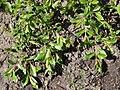 Salix retusoides a1.jpg