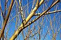 Salix viminalis. Vimenera.jpg