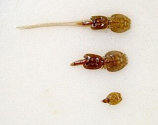 Salmon louse species of sea louse