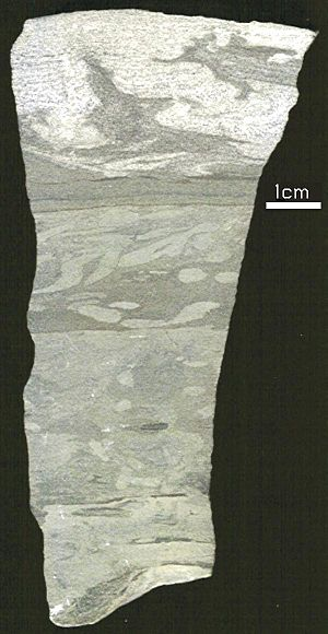 Flame structure - Section of hand sample of dolomitic siltstone showing a flame structure at top.  From I-71, exit 28, Kentucky. Probably Upper Ordovician Saluda Dolomite.