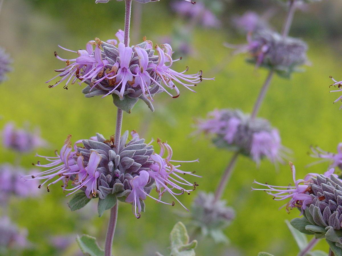 Salvia leucophylla wikipedia for Purple flower shrub california