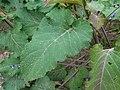 Salvia nutans 2016-05-31 2025.jpg