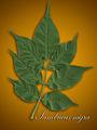 Sambucus nigra foliage.jpg