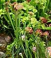Sarracenias (14011656422).jpg