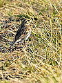 Savannah Sparrow (7571798884).jpg