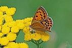 Scarce copper (Lycaena virgaureae) female Bulgaria.jpg
