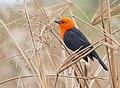 Scarlet-headed Blackbird (Amblyramphus holosericeus) - 48208556272.jpg