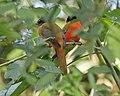 Scarlet-rumped Trogon (Harpactes duvaucelii) - pair.jpg
